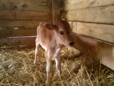 Jersey Baby Calf Dairy Heifer Ohio Pretty Jersey Cow Youtube