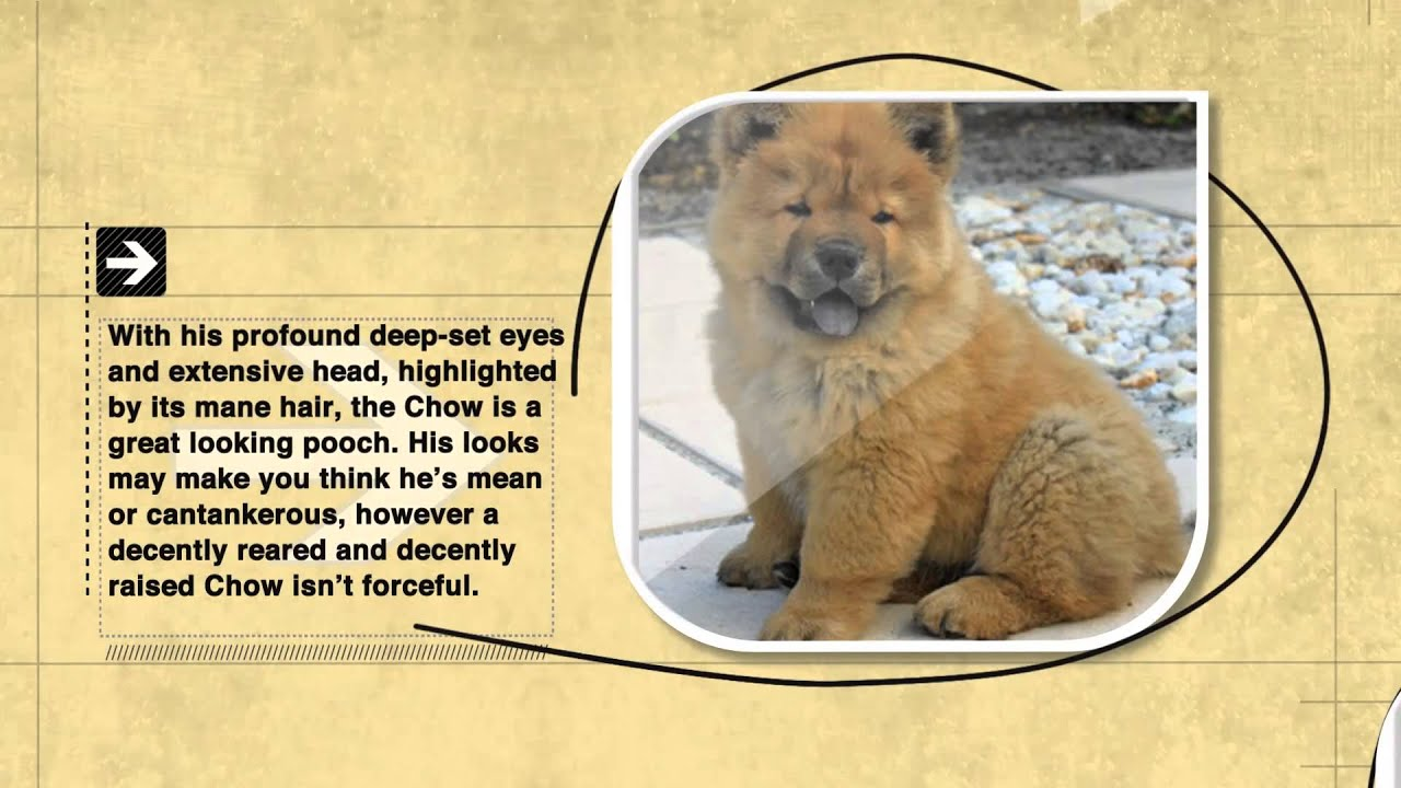 R Chow Chows Mean Dog Facts: Chow Chow D...
