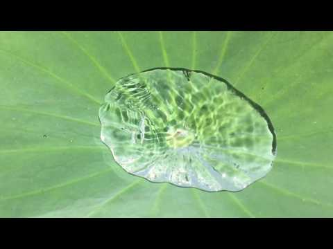 Lotus (Nelumbo nucifera)  leaf breathing