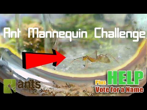 Thumbnail: Ant Mannequin Challenge + Name Voting | Entering the Nest: Yellow Crazy Ants