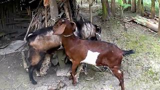 Funny Animal Video:Doggy Style = Goat Style...??