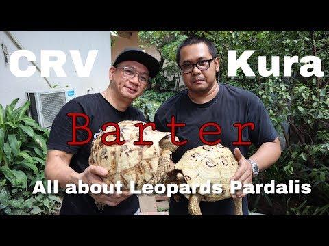 SNOW Leopard Pardalis Tortoise terbaik..!! CRV vs KURA ..Feat.TortoTown