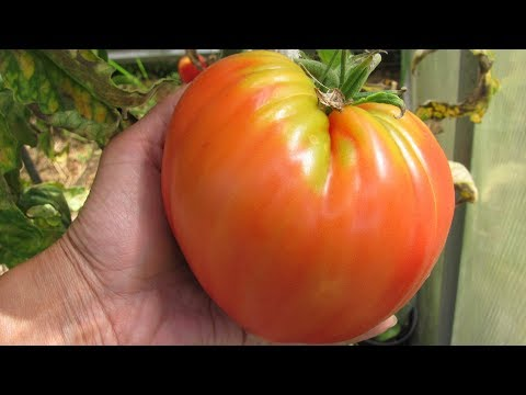 Шпаргалка №1 Как сеять томаты  Советы, проверенные урожаем!