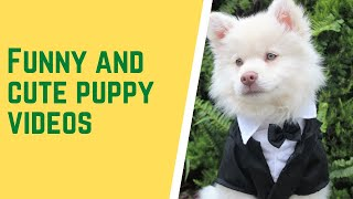 Funny and Cute Puppy Videos|Japanese Spitz|Simmer and Sasha