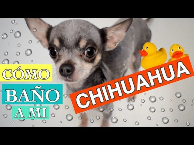 Cómo Baño A Mi Chihuahua Y Qué Productos Utilizo Yendypindipi Youtube