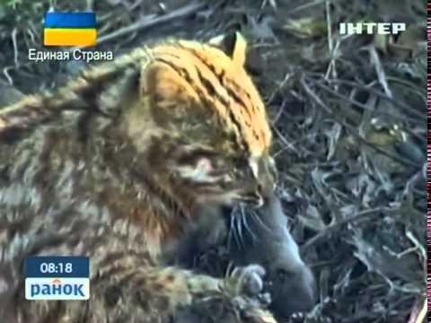 Красная Книга Украины: Лесной Кот - Ранок - Інтер