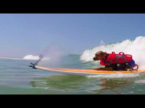 Small Surfing Dog Winner - 2018 Purina® Pro Plan® Incredible Dog Challenge® National Championship