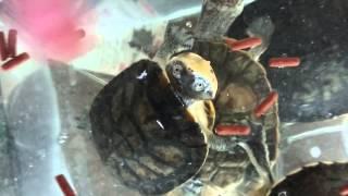 カエルガメ属