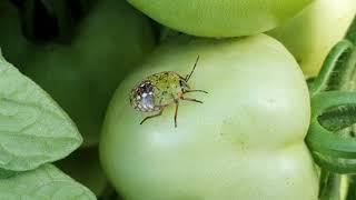 helminthosporium turcicum kémiai védekezés paraziták tünetei gyermekeknél pinworms