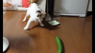 Хозяева пугают котов огурцами!