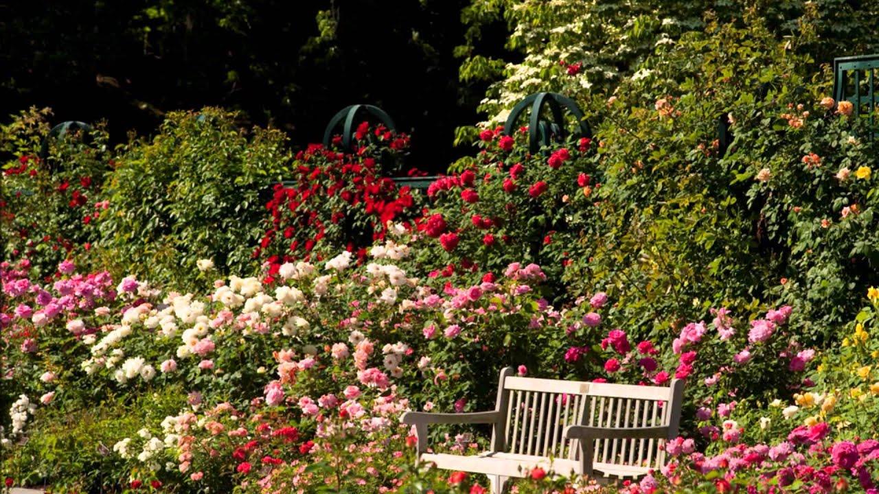 Roses In Garden: PEGGY ROCKEFELLER ROSE GARDEN