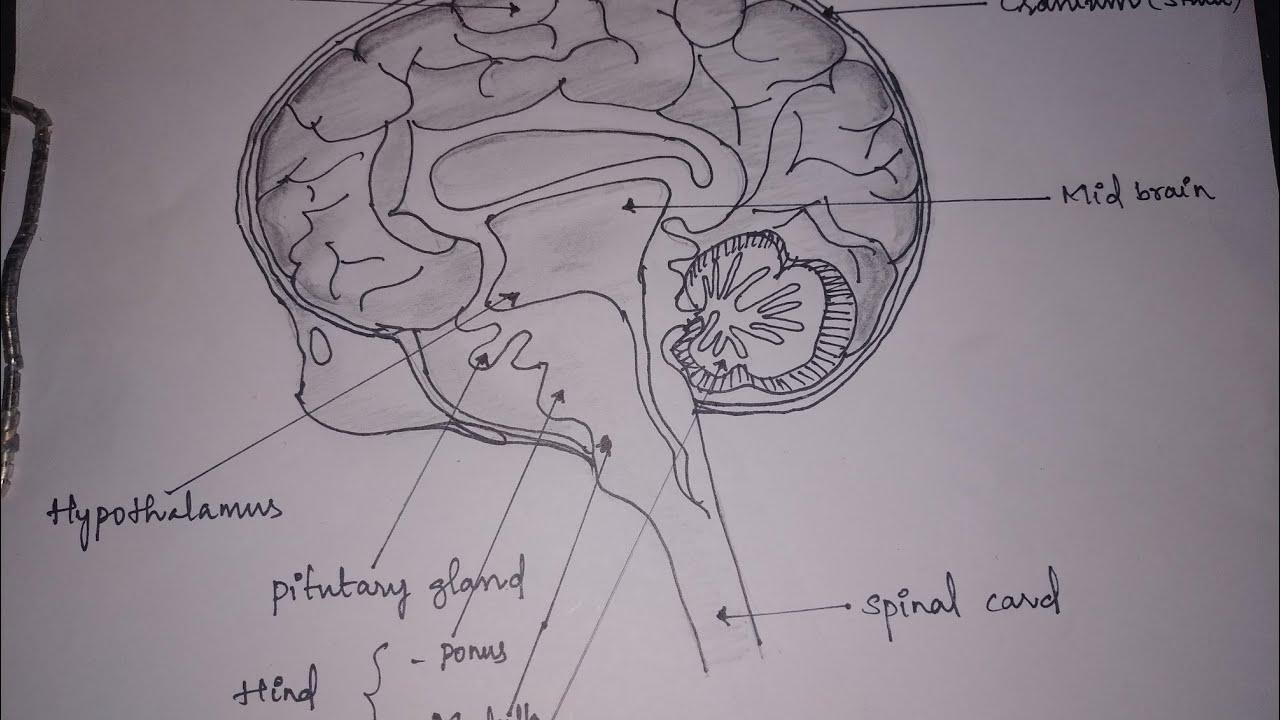 Easy method of drawing brain - YouTube