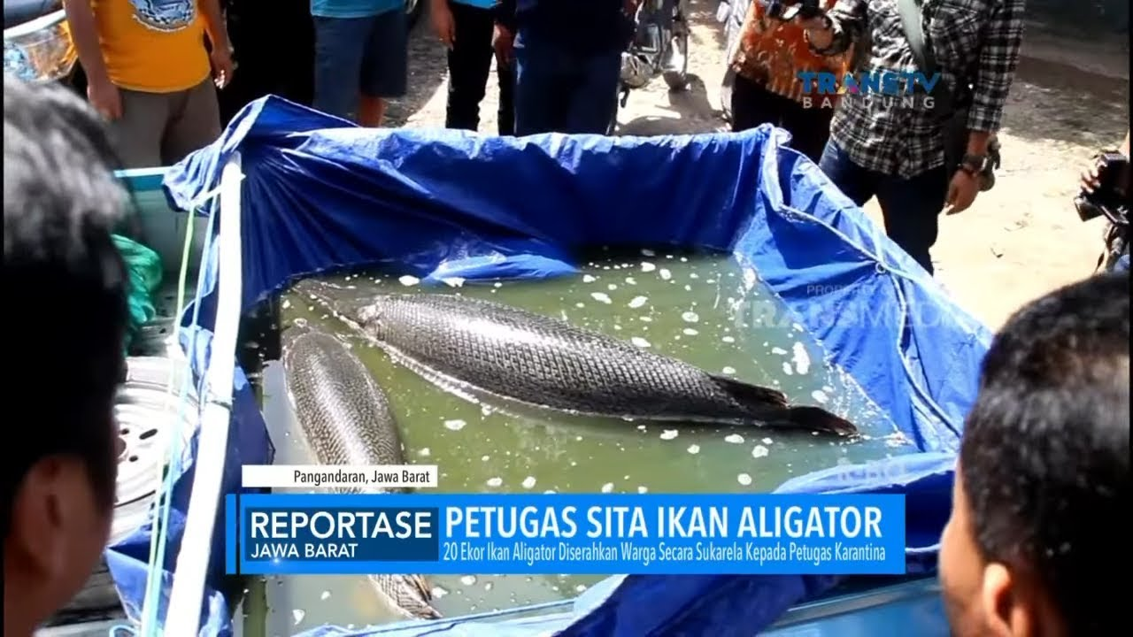 Petugas Sita Ikan Aligator