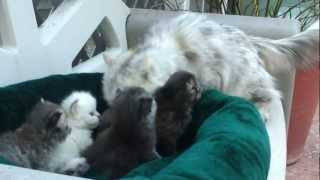 Persian kittens and Mom
