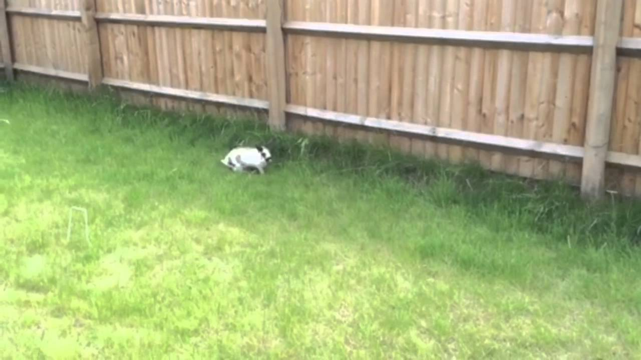 rabbit running jumping and doing bunny binkies in the garden
