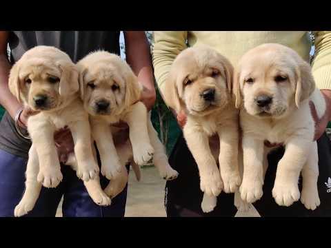 Labrador Puppy For Sale In India | Labrador Dog Price | About Labrador Dog | 9896504757 Doggyz World