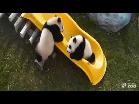 Toronto Zoo Giant Panda Cubs Play On Slide