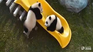 Repeat youtube video Toronto Zoo Giant Panda Cubs Play On Slide