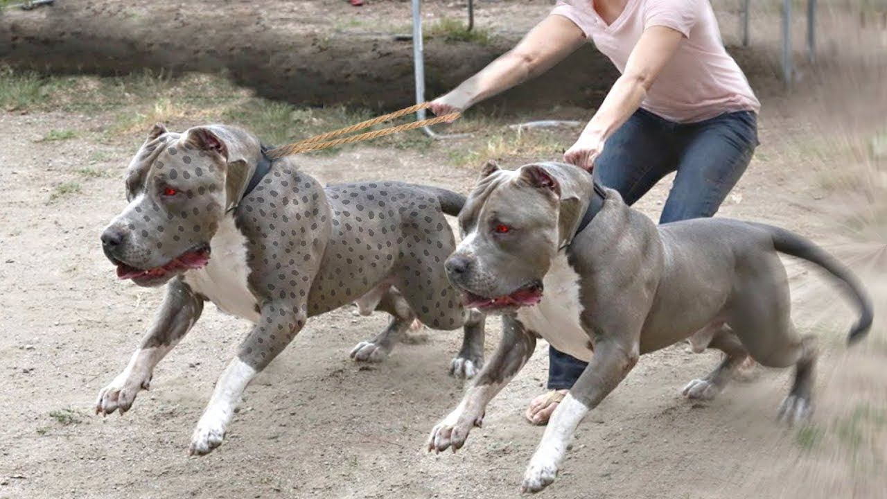 10 Most Strongest Bully Dog Breeds