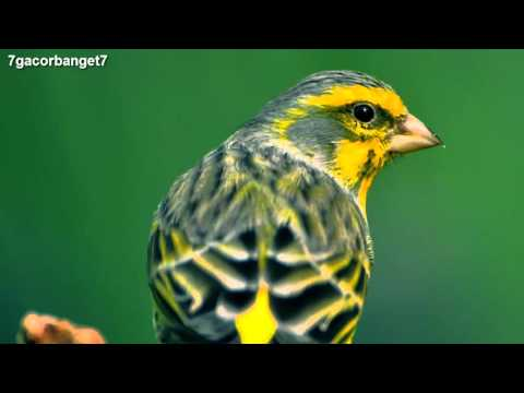 Download Lagu Kicau Burung Kenari Spanish Timbrado - Chirp of Bird