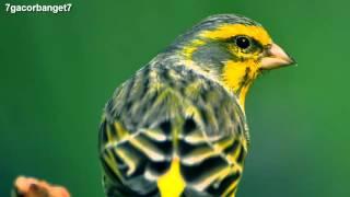Kicau Burung Kenari Spanish Timbrado - Chirp of Bird