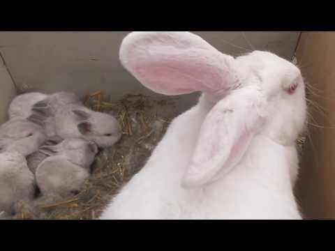 Лечим крольчиху ( удаляем гной,  хирургия)