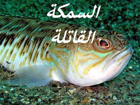 سمكة العقرب السامة #Scorpaenopsis gibbosa# verrucosa Scorpaenopsis#Verrucosa Scorpaenopsis