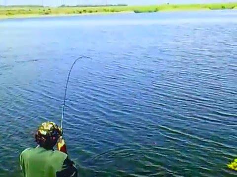 Ловля белого амура на Мироновском водохранилище - YouTube