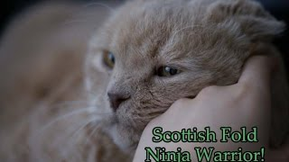 Scottish Fold cat does obstacle courses! Kitty workout, pet hurdles, Ninja Warrior obstacles