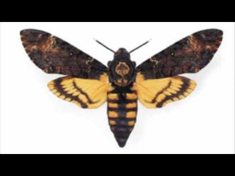 Чешуекрылые, или бабочки (рассказывает энтомолог Николай Савенков)