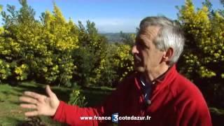 Récolte du mimosa dans le Var