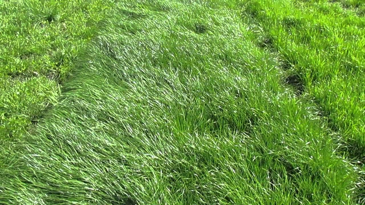 plot  of  remington nea perennial ryegrass barenbrug usa, Natural flower