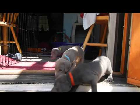 Weimaraner puppy uses the steps