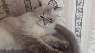 Невская Маскарадная Сибирская кошка