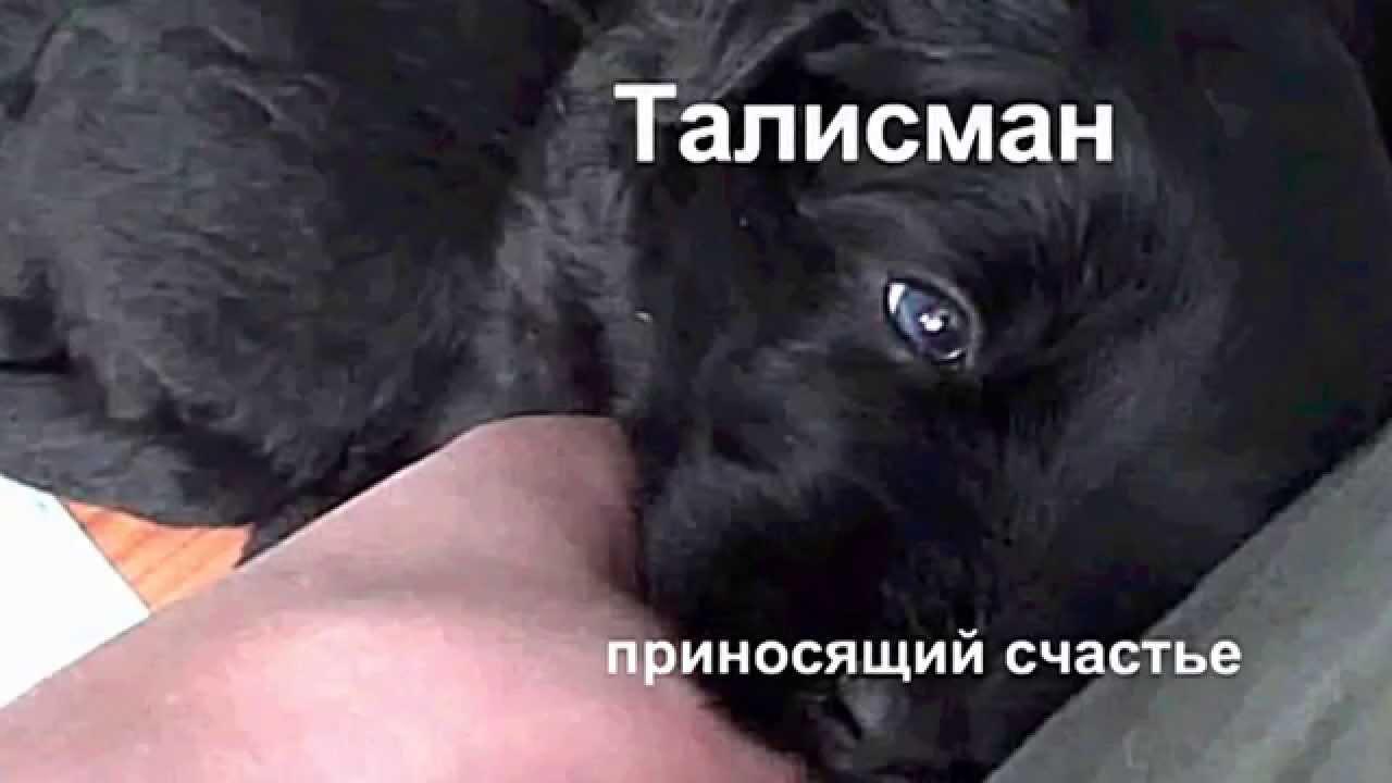 У нас можно купить или зарезервировть щенка русского черного терьера из питомника ркф. Щенки привиты, прошли актировку и имеют щенячью карточку ркф.