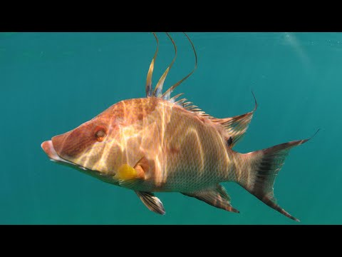 Spearfishing Key Largo - Black Grouper & Hogfish Catch N' Cook
