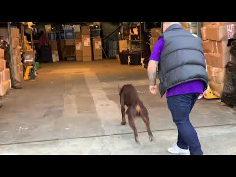 Doberman Duke protecting a business from Armed Robbers