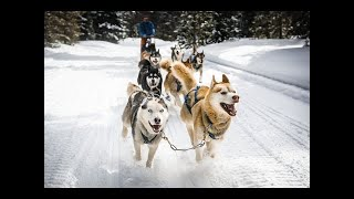 最初にアラスカの犬を見ると、彼らは本当に信じられないほど素晴らしい ...