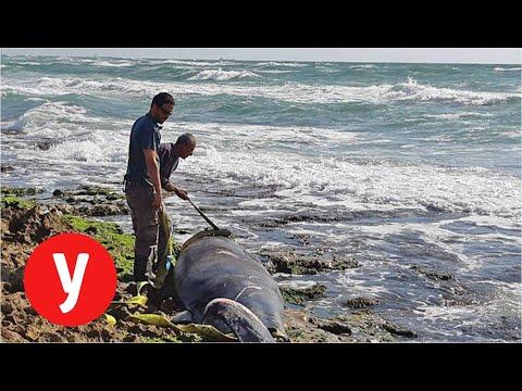 לוויתן מת נפלט לחוף דור
