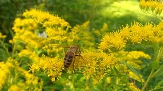 Золотарник-агрессивный мёдонос!