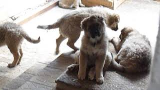 Щенки кавказской овчарки 3 месяца и неделя