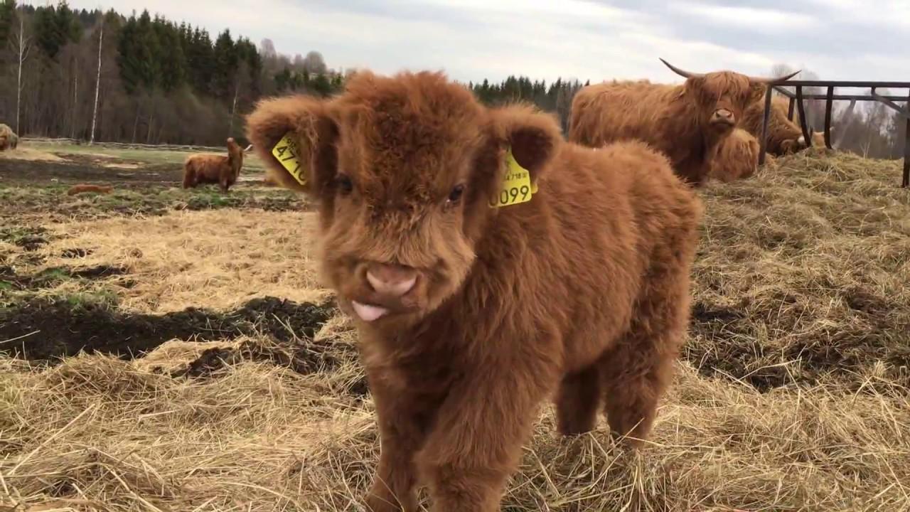 Scottish Highland Cattle In Finland: Osku the fluffy calf ...