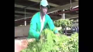 Tea Processing in Kenya
