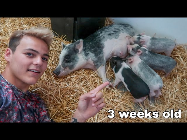 My PET Mini PIGLETS are GROWING!!!