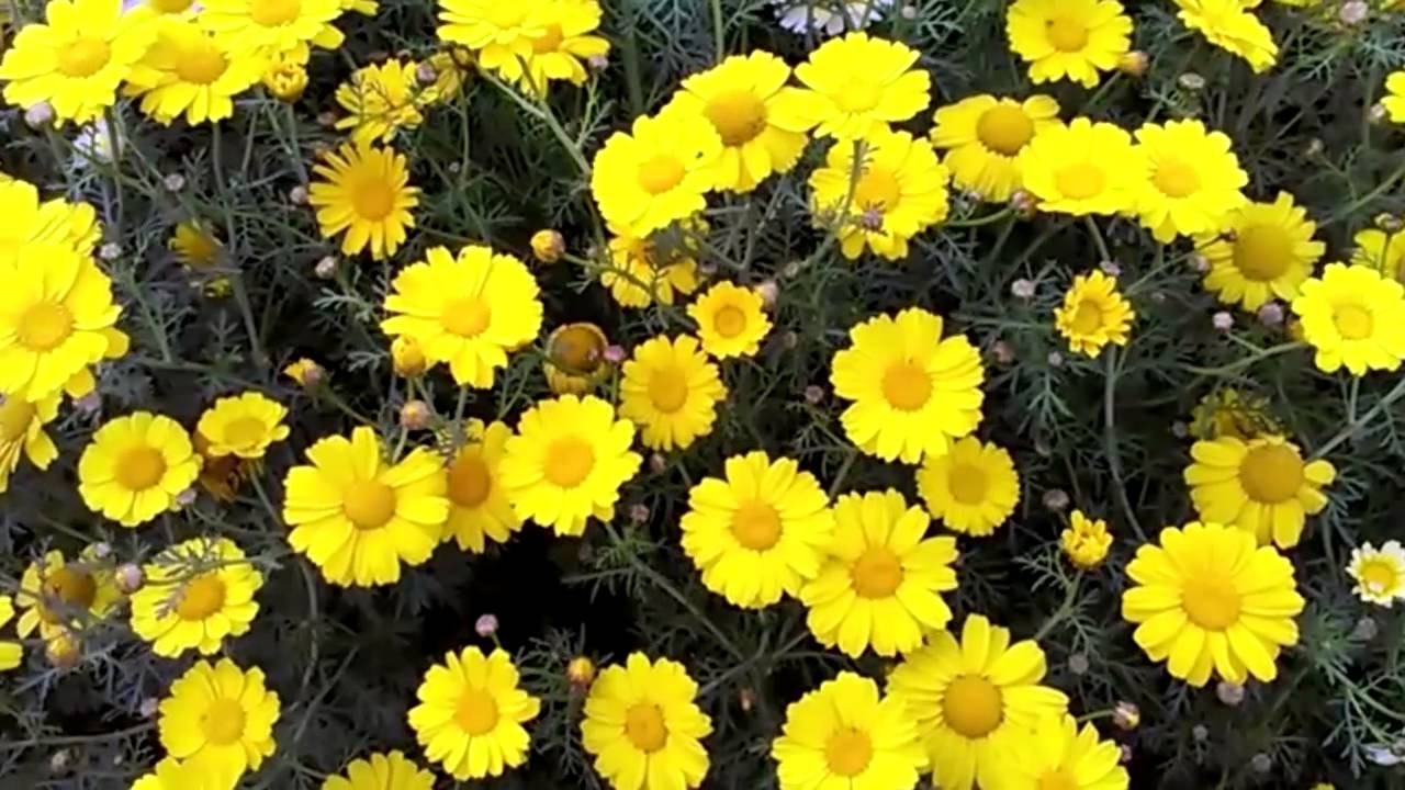 Hd bright yellow flowers moving with gentle wind youtube mightylinksfo