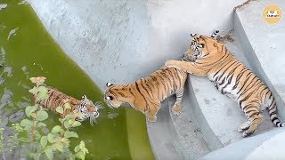 Тигрицу Васю не выпускают из бассейна ее дети!Тайган. Tigress blocked in the pool!