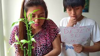 Bambú reproducción ( huerto en tu departamento)  bamboo - bambou - бамбук - 竹