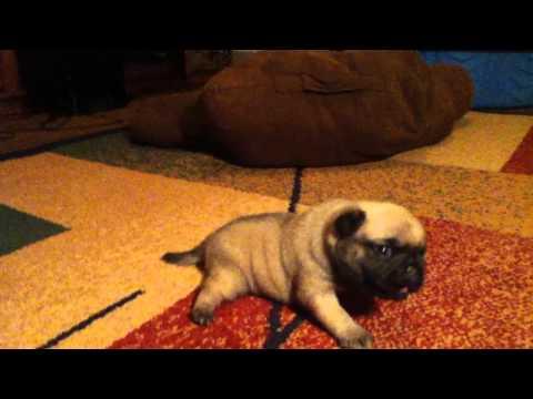 cutest pug puppy 2 weeks old