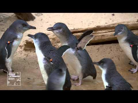 Bronx Zoo's Little Penguins