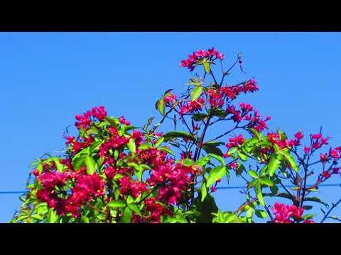 Клеродендрум прекрасный( Clerodendrum delectum)Кирьят-Ям.Израиль.Kiryat-Yam. Israel.